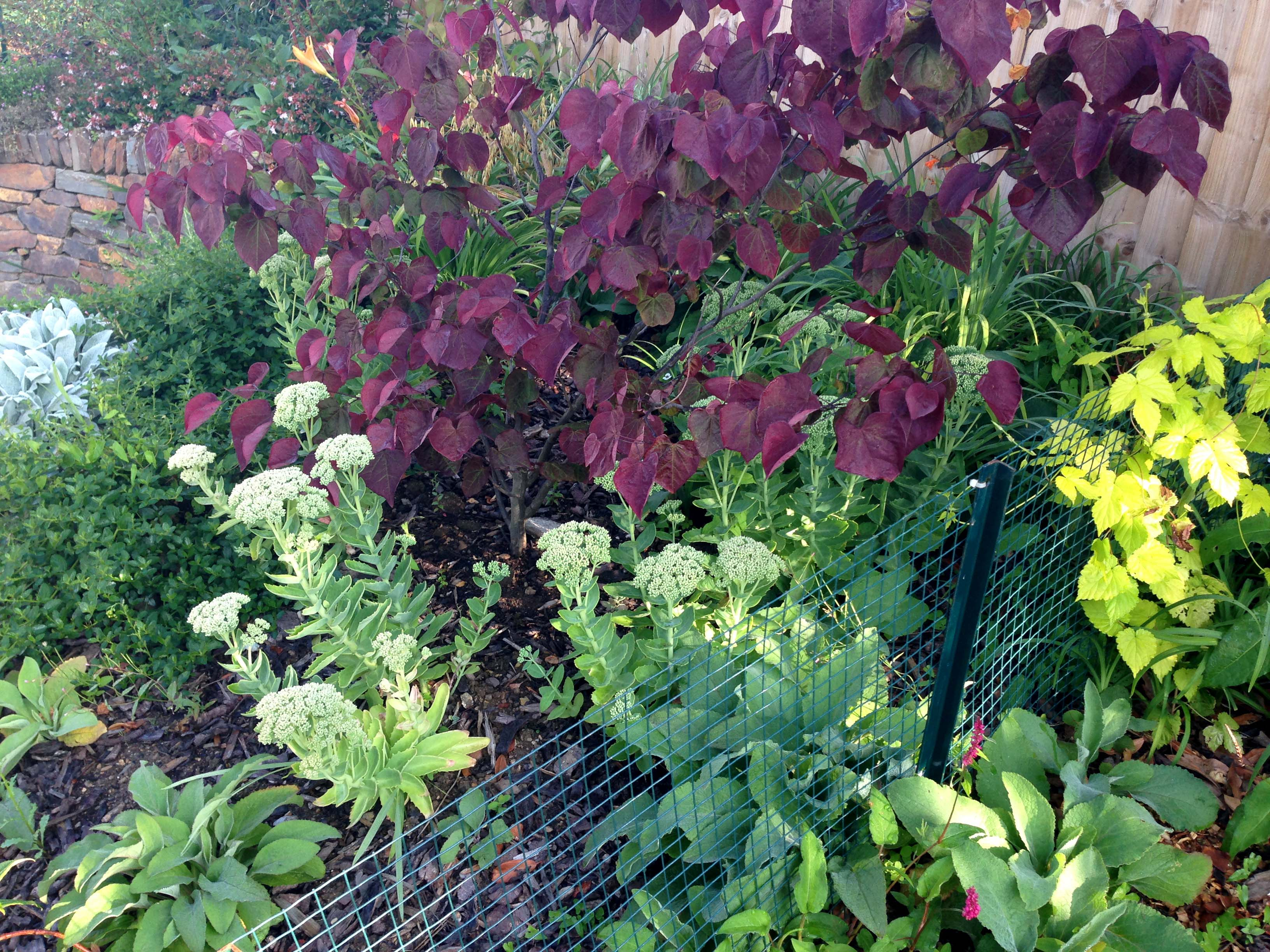 Purple green glaucous yellow foliage of planting